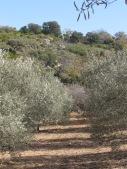 a line of juaquin's olives2 11-2-15