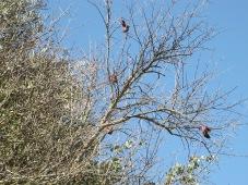 dead pomegranates hanging on 11-2-15