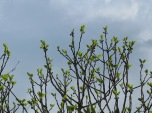 new fig leaves1 5-4-15
