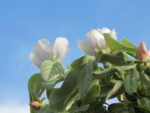pink buds - quince5 5-4-15