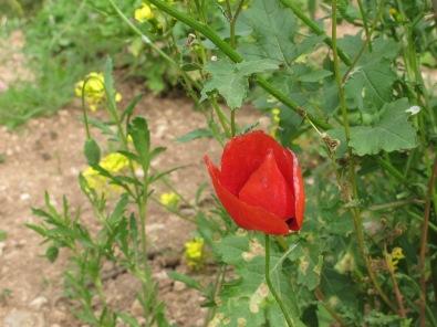 poppy6 14-4-15