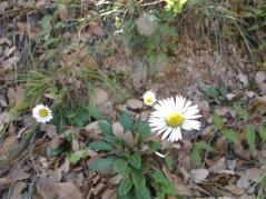 the first white wildflower daisy 11-2-15