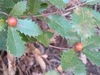 tiny oak galls 11-2-15