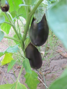 aubergines, hanging like earrings 24-8-14