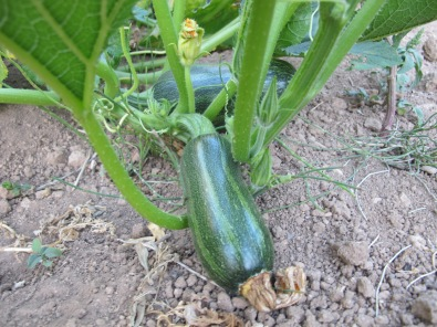 glossy courgettes 24-8-14