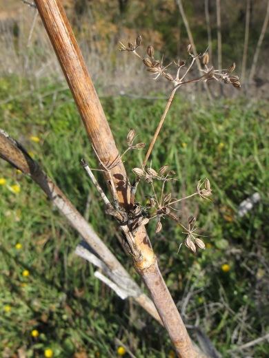 dead fennel3 11-2-15
