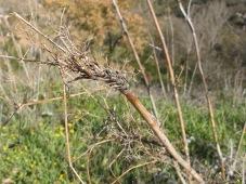 dead fennel4 11-2-15