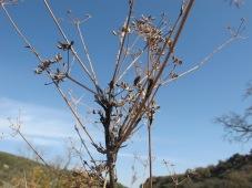 dead fennel5 11-2-15