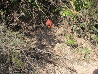 dead pomegranate on tree1 11-2-15