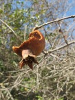 dead pomegranate on tree3 11-2-15