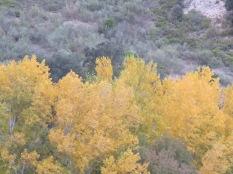 golden poplars beside the river 17-11-13