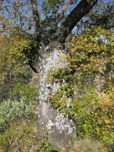 lichen on holm oak tree 11-2-15