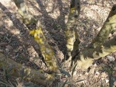 olive tree, five stems 11-2-15