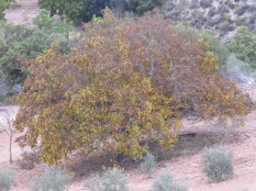 walnut tree in the olive grove - bronze and gold leaves 17-11-13