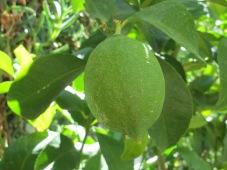 lemon2 23-9-15