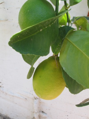 lemon4 23-9-15