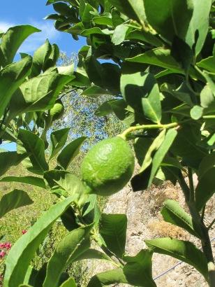 lemon5 23-9-15