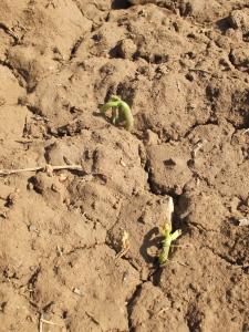 5 melon seedlings 21-5-15