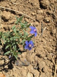 6 blue wildflower 17-6-15