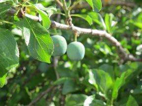 a poor fruit crop - plums1 26-6-13 (2)