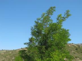 acacia tree & blue sky 17-6-15