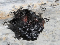 ants & olive2 20-4-15