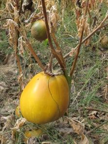aubergine1 15-12-15
