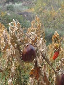 aubergines3 15-12-15