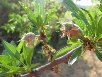 baby almonds2 5-4-15