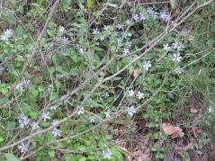 Blue vinca & dead twigs 14-4-15