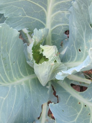 cabbage, bolted 22-7-15