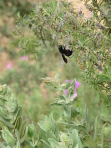 carpenter bee on rosemary 14-4-15