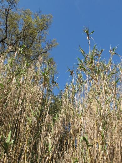 dead canas, blue sky 5-4-15