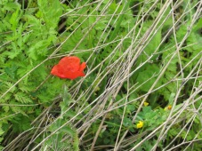 dead grass & poppy 14-4-15