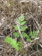 dead grass & wildflower - identify 14-4-15
