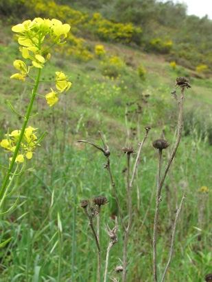 dead seedhead & yellow wildflower 14-4-15