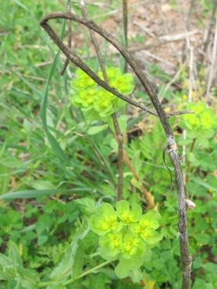 dead twig & green wildflower 14-4-15