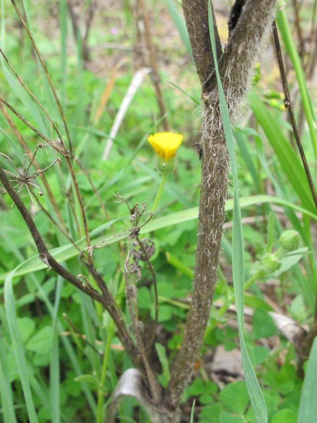 dead twig & yellow wildflower 14-4-15