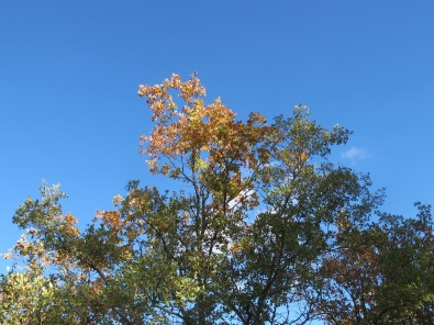golden leaves & blue sky 10-12-15