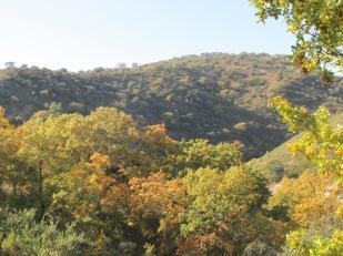 golden leaves1 10-12-15