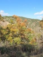 golden leaves2 10-12-15