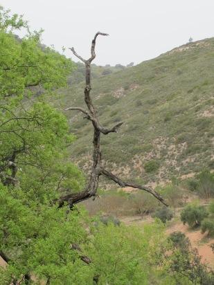 Holm oak - dead branch, fresh green leaves 14-4-15