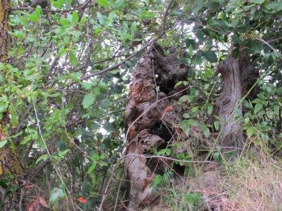 holm oak1 14-4-15