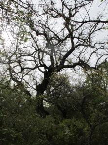 holm oak10 14-4-15