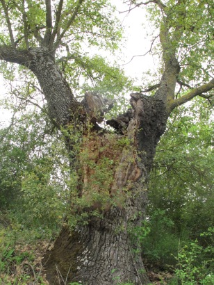 holm oak11 14-4-15