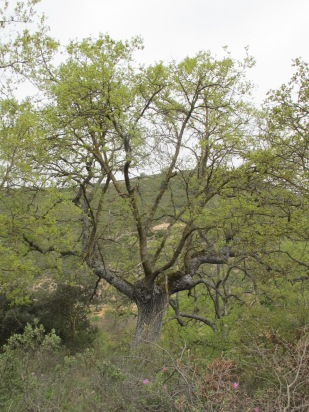 holm oak12 14-4-15
