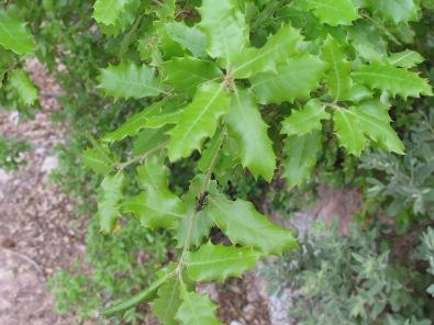 holm oak2 14-4-15