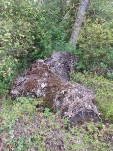 holm oak3 14-4-15