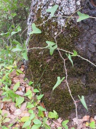 holm oak4 14-4-15