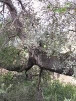 holm oak6 14-4-15